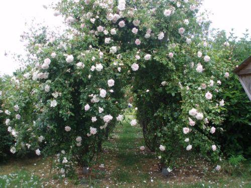 rosenbogen bepflanzen seite 1 rund um die rose mein sch ner garten online. Black Bedroom Furniture Sets. Home Design Ideas