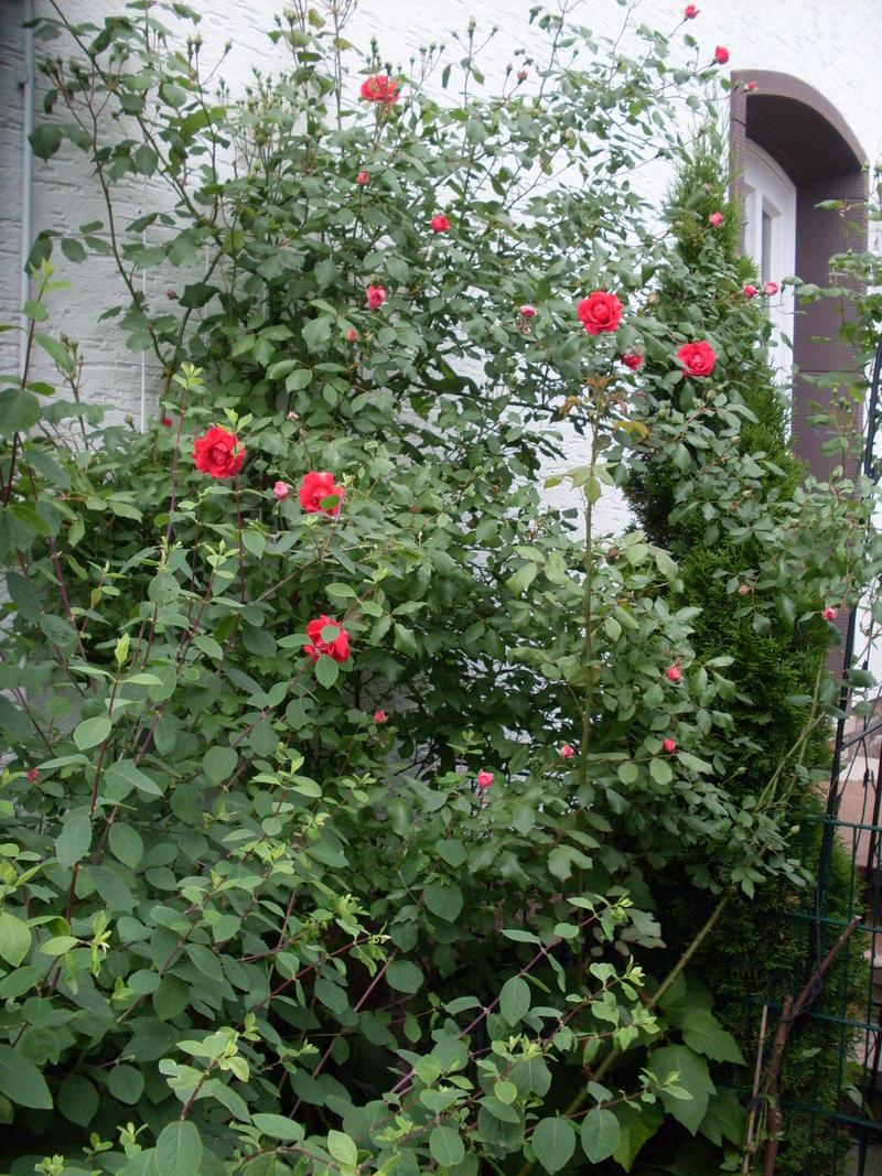 rosen rosa beliebte pflanzen erfahrungen green24 hilfe pflege bilder. Black Bedroom Furniture Sets. Home Design Ideas