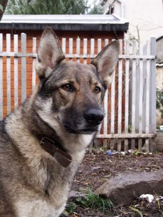 tschechoslowakischer wolfshund tierheim